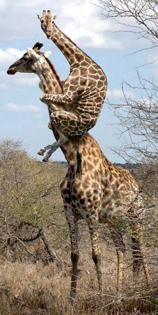 A Mother Giraffe Carries Her Young